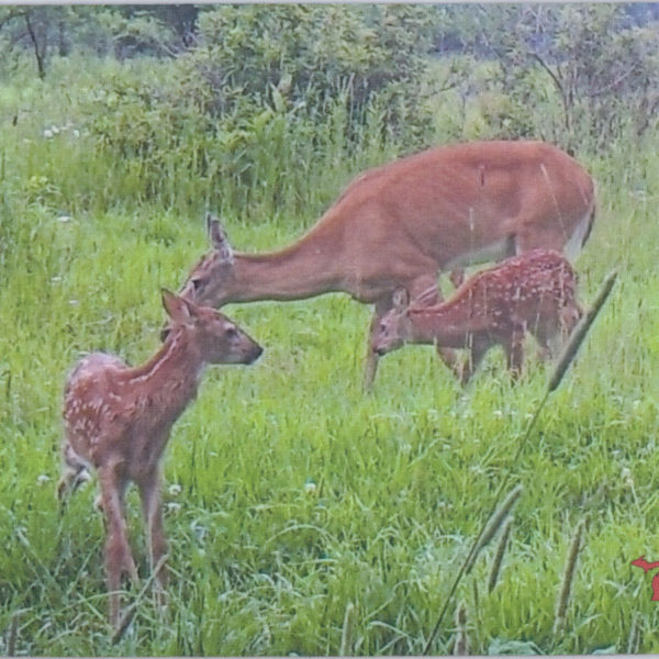 Mama Deer and the Twins USA